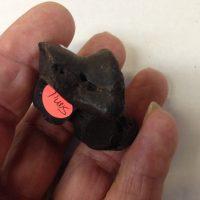 Smilodon  / Sabercat Astragalar Fossil Florida | Fossils & Artifacts for Sale | Paleo Enterprises | Fossils & Artifacts for Sale