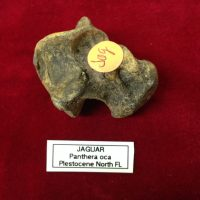 Jaguar Astragalus Fossil Florida | Fossils & Artifacts for Sale | Paleo Enterprises | Fossils & Artifacts for Sale