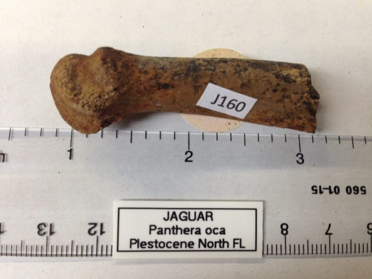 Jaguar Metatarsal Partial 2/3 distal end | Fossils & Artifacts for Sale | Paleo Enterprises | Fossils & Artifacts for Sale