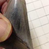 """3"""" Meg Tooth / Shark Tooth / Fossil 