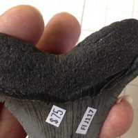 """3.5"""" Meg Tooth / Shark Tooth / Fossil   Fossils & Artifacts for Sale   Paleo Enterprises   Fossils & Artifacts for Sale"""
