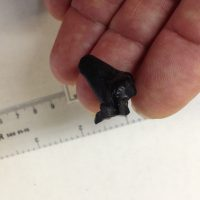 Partial Short faced Bear Tooth   Fossils & Artifacts for Sale   Paleo Enterprises   Fossils & Artifacts for Sale