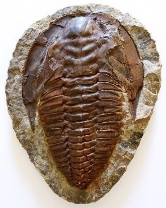 Cambropallas telesto Trilobite Positive and Negative Plates | Fossils & Artifacts for Sale | Paleo Enterprises | Fossils & Artifacts for Sale