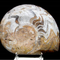 Large Devonian Goniatite | Fossils & Artifacts for Sale | Paleo Enterprises | Fossils & Artifacts for Sale