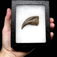"Large Dromaeosaurid (""Raptor"") USA Dinosaur Hand Claw 