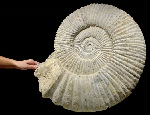 Giant Perisphinetid Ammonite 50 lb | Fossils & Artifacts for Sale | Paleo Enterprises | Fossils & Artifacts for Sale