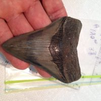 Meg / Shark Tooth / Fossil | Fossils & Artifacts for Sale | Paleo Enterprises | Fossils & Artifacts for Sale