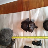 Megatherium  (Giant Sloth) | Fossils & Artifacts for Sale | Paleo Enterprises | Fossils & Artifacts for Sale
