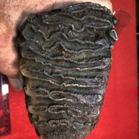 Juvenal Woolly Mammoth Tooth | Fossils & Artifacts for Sale | Paleo Enterprises | Fossils & Artifacts for Sale