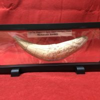Saber Tooth Tiger Tooth | Fossils & Artifacts for Sale | Paleo Enterprises | Fossils & Artifacts for Sale