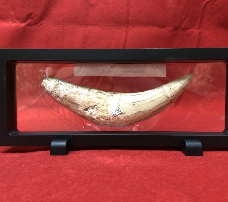 Saber Tooth Tiger Tooth   Fossils & Artifacts for Sale   Paleo Enterprises   Fossils & Artifacts for Sale