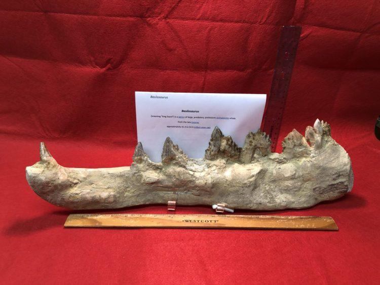 Basilosaurus (King Lizard) Giant Whale | Fossils & Artifacts for Sale | Paleo Enterprises | Fossils & Artifacts for Sale