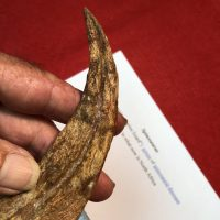Spinosaurus Hand Claw And Finger Bone Fossil | Fossils & Artifacts for Sale | Paleo Enterprises | Fossils & Artifacts for Sale