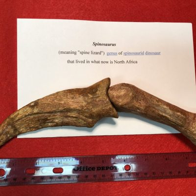 Spinosaurus Hand Claw And Finger Bone Fossil