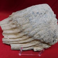 Woolly Mammoth Tooth Florida Fossil   Fossils & Artifacts for Sale   Paleo Enterprises   Fossils & Artifacts for Sale