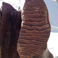 Woolly Mammoth Upper Jaw Fossil | Fossils & Artifacts for Sale | Paleo Enterprises | Fossils & Artifacts for Sale