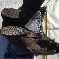 Woolly Mammoth Jaw Fossil | Fossils & Artifacts for Sale | Paleo Enterprises | Fossils & Artifacts for Sale