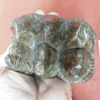 Gomphothere Tooth Fossil Very Nice   Fossils & Artifacts for Sale   Paleo Enterprises   Fossils & Artifacts for Sale