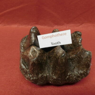 Gomphothere Tooth Fossil Very Nice