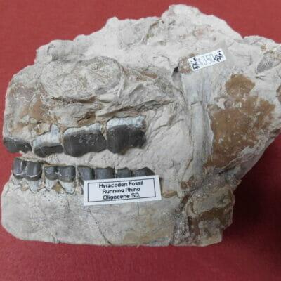 Fossil Rhino Skull Very Nice Hyracodon (Running Rhino)