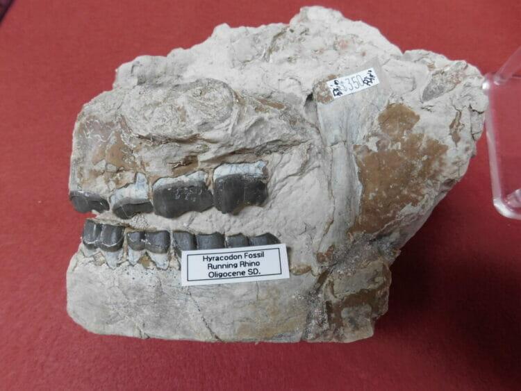 Fossil Rhino Skull Very Nice Hyracodon (Running Rhino) | Fossils & Artifacts for Sale | Paleo Enterprises | Fossils & Artifacts for Sale