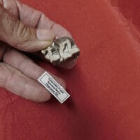 Fossil Rhino Tooth Very Nice Hyracodon (Running Rhino)   Fossils & Artifacts for Sale   Paleo Enterprises   Fossils & Artifacts for Sale