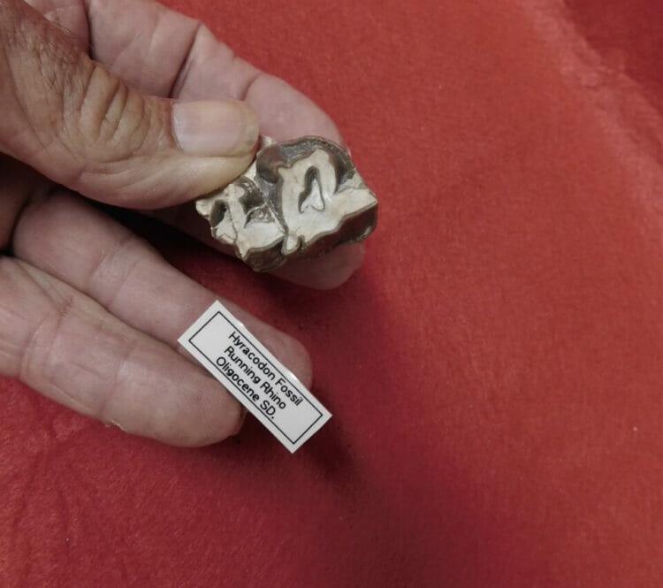 Fossil Rhino Tooth Very Nice Hyracodon (Running Rhino) | Fossils & Artifacts for Sale | Paleo Enterprises | Fossils & Artifacts for Sale