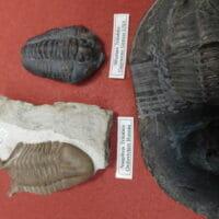 Asaphus Trilobite | Fossils & Artifacts for Sale | Paleo Enterprises | Fossils & Artifacts for Sale