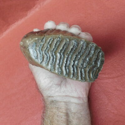 Best Small Fossil Woolly Mammoth Tooth Russia