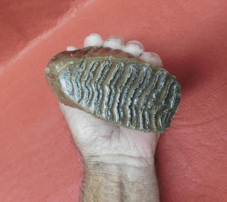 Best Small Fossil Woolly Mammoth Tooth Russia | Fossils & Artifacts for Sale | Paleo Enterprises | Fossils & Artifacts for Sale