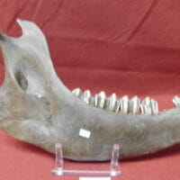 Fossil Bison Jaw & Teeth Fossil   Fossils & Artifacts for Sale   Paleo Enterprises   Fossils & Artifacts for Sale