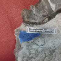 Brontotherium Jaw Two Teeth Fossil   Fossils & Artifacts for Sale   Paleo Enterprises   Fossils & Artifacts for Sale
