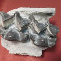 Brontotherium Jaw Two Teeth Fossil Titanothere's | Fossils & Artifacts for Sale | Paleo Enterprises | Fossils & Artifacts for Sale