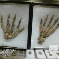 Cave Bear Feet Ursus uralensisa Russia   Fossils & Artifacts for Sale   Paleo Enterprises   Fossils & Artifacts for Sale