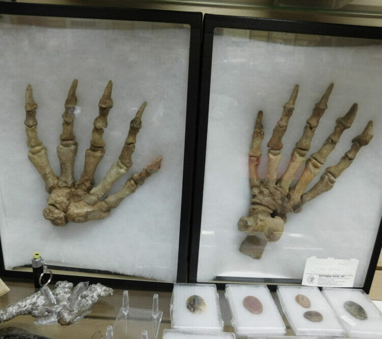Cave Bear Feet Ursus uralensisa Russia | Fossils & Artifacts for Sale | Paleo Enterprises | Fossils & Artifacts for Sale