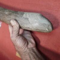 Complete Fossil Mastodon Tusk  Fla. | Fossils & Artifacts for Sale | Paleo Enterprises | Fossils & Artifacts for Sale