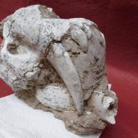 Partial Top of Saber cat Skull   Fossils & Artifacts for Sale   Paleo Enterprises   Fossils & Artifacts for Sale