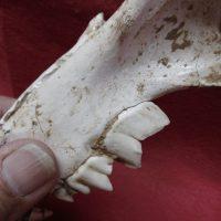 Complete Saber cat Skull | Fossils & Artifacts for Sale | Paleo Enterprises | Fossils & Artifacts for Sale