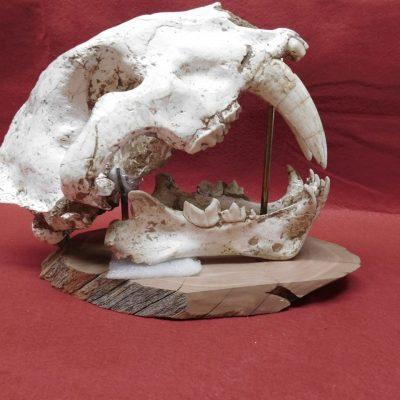 Complete Saber cat Skull