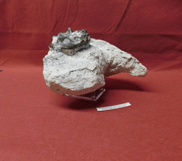 Fossil Brontotherium Jaw and Tooth Fossil | Fossils & Artifacts for Sale | Paleo Enterprises | Fossils & Artifacts for Sale