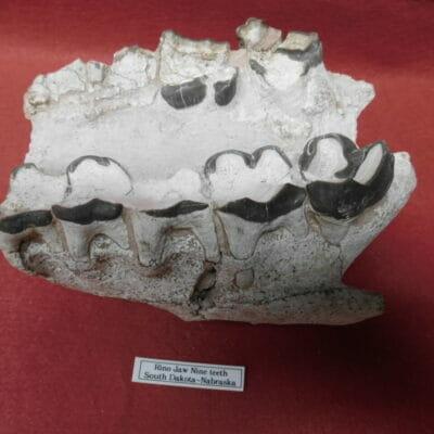 Fossil Rhino Jaw Fossil Teeth