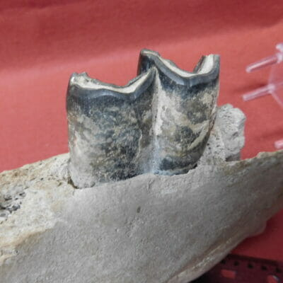 Fossil Rhino Jaw one Tooth Fossil