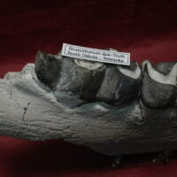 Brontotherium Jaw Four Teeth Fossil | Fossils & Artifacts for Sale | Paleo Enterprises | Fossils & Artifacts for Sale
