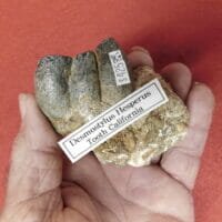 Fossil Tooth Desmostylus Hesperus (Hippo Like)   Fossils & Artifacts for Sale   Paleo Enterprises   Fossils & Artifacts for Sale