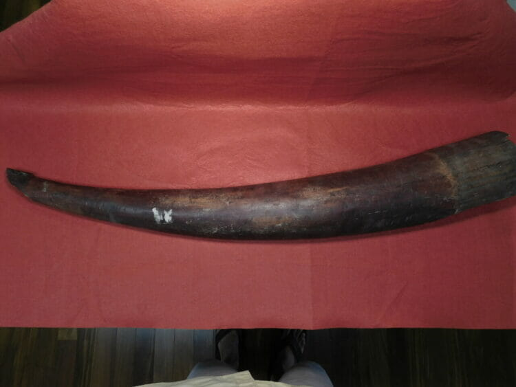 Fossil Mammoth Tusk Split  NW US   Fossils & Artifacts for Sale   Paleo Enterprises   Fossils & Artifacts for Sale