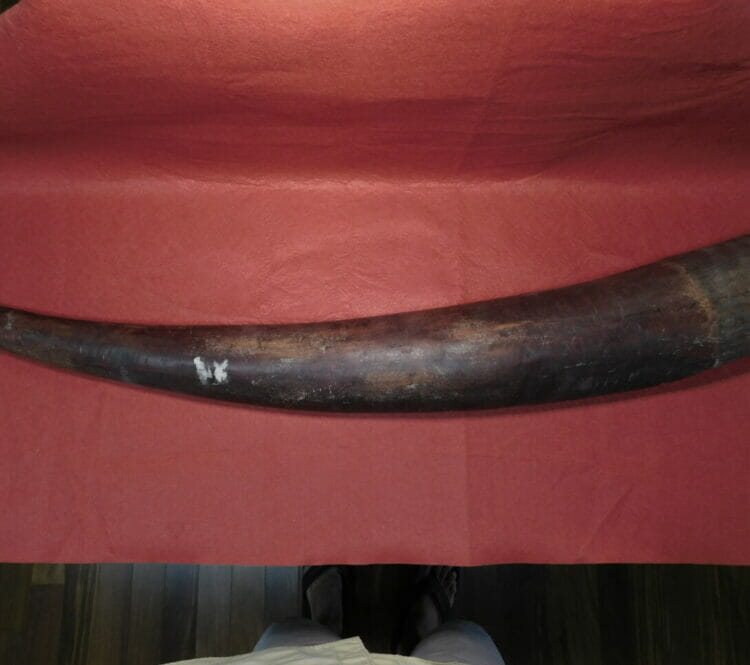 Fossil Mammoth Tusk Split  NW US | Fossils & Artifacts for Sale | Paleo Enterprises | Fossils & Artifacts for Sale