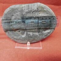 Megalaspidella kayseri Trilobite   Fossils & Artifacts for Sale   Paleo Enterprises   Fossils & Artifacts for Sale