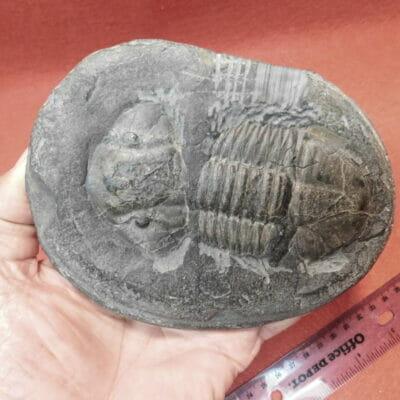Megalaspidella kayseri Trilobite