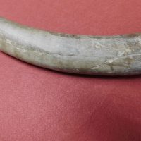 Mammoth Tusk Tip Alaska | Fossils & Artifacts for Sale | Paleo Enterprises | Fossils & Artifacts for Sale
