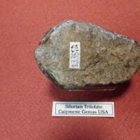 Silurian Trilobite / USA Caiymene | Fossils & Artifacts for Sale | Paleo Enterprises | Fossils & Artifacts for Sale